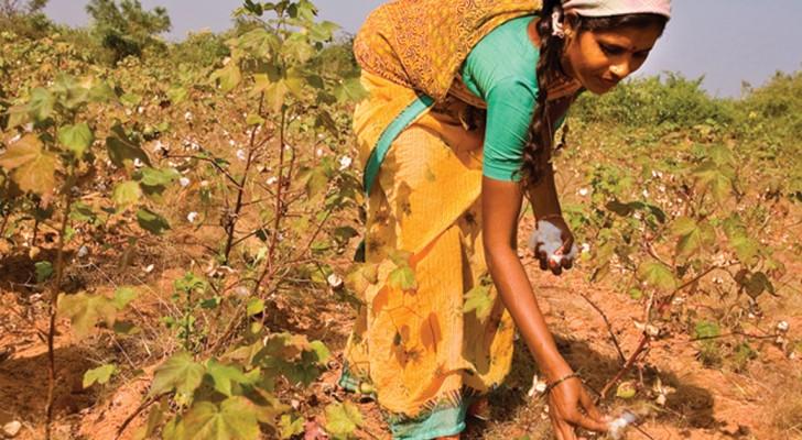Indische Bauern zeigen Monsanto die kalte Schulter und bauen wieder einheimische Baumwolle an - Curioctopus.de