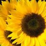 Sunflower Profile Picture